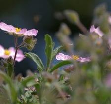 Pink Cistus flower under the sun